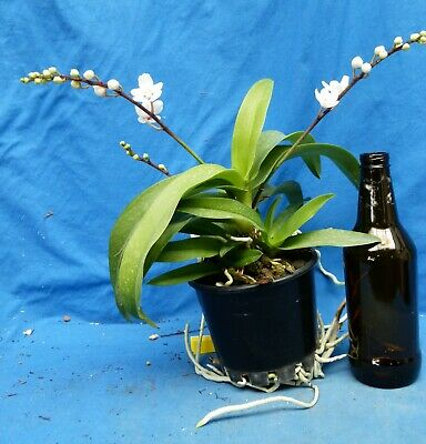 AU25 • Buy THG Orchid SARCOCHILUS Elain's Legacy 'Lovely Lady' IN BLOOM Oct121
