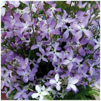 AU5.45 • Buy MATTHIOLA Evening Scented Lilac Stock X100 Seeds. Orchid-like Mauve Flowers