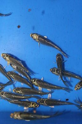 10, 20 Or 50 Small Ghost Koi/Carp 5cm -  FREE DELIVERY -  Koi/Pond - MF Aquatics • 39.50£