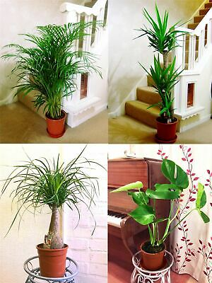 1POPULAR EVERGREEN INDOOR HOUSE PLANT @ POT Office Home Conservatory Garden Tree • 25.99£