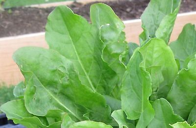 £1.73 • Buy French Sorrel Seeds- Heirloom Lettuce Herb- 400+ Seeds   $1.69 Max Shipping