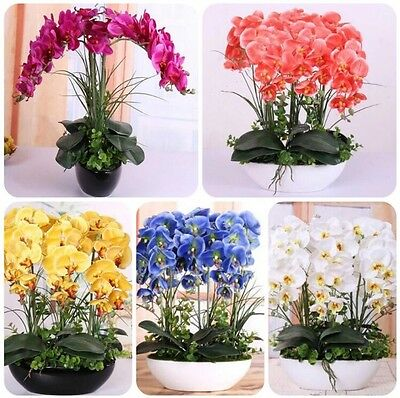 AU9.49 • Buy US- 100 Pcs Mixed Colors Phalaenopsis Seeds Bonsai Balcony Flower Orchid Seeds