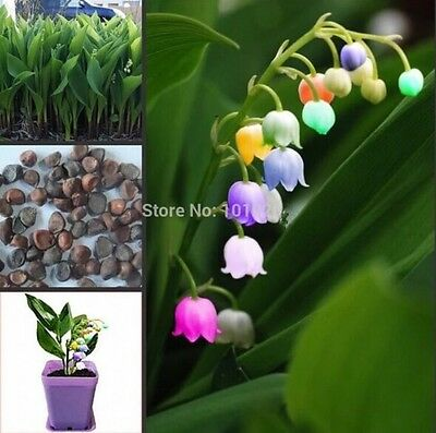AU8.91 • Buy US-Seller 20pcs Import Bell Orchid Seeds, Fragrant Orchid All Colors Of Flowers
