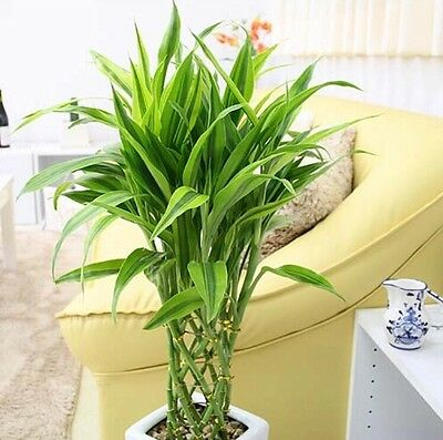 AU10.69 • Buy 20pcs 100% Genuine Rare  Lucky-Bamboo Seeds Anti Radiation Absorb Dust Tree Seed
