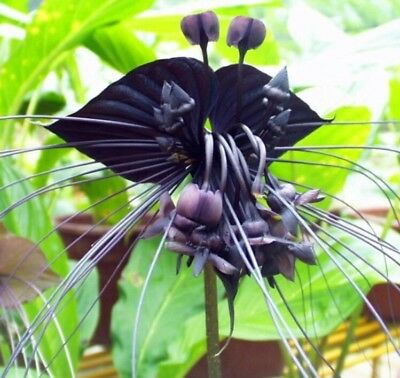 AU7.08 • Buy Black Tiger Shall Orchid Seeds Tiger Seeds Orchid Flower Seeds 100 Pcs/Bag