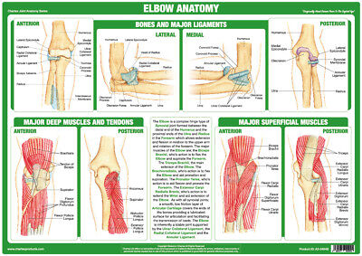 £14.99 • Buy Elbow Anatomy Poster Showing Joint Function