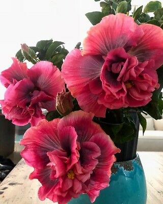 Perennial Hibiscus Seeds Compare Prices On Dealsancom