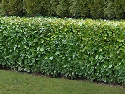 Native Common Evergreen Cherry Laurel Bare Root Hedge Hedging Plants - 5 Sizes! • 29.99£
