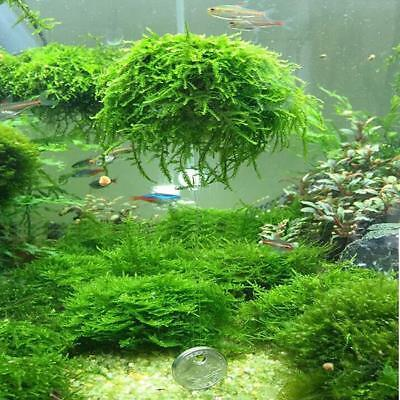 Moss Shrimp Breeding Carpeting Plants Live Aquatic Aquarium EASY GROW T • 2.69£