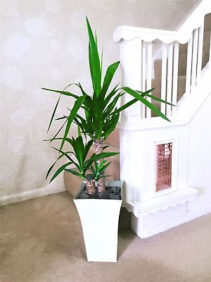 Large Double Spineless Yucca House Floor Plant @Gloss White Milano Pot 90cm Tall • 49.99£