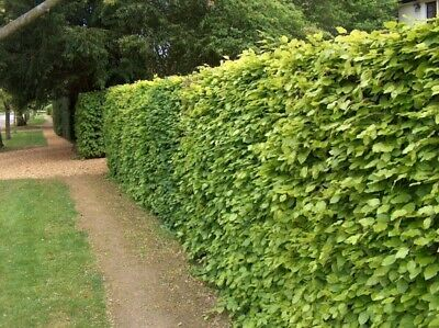 5-6ft Tall Now Green Copper Beech Hedge Plants Semi-evergreen Bare Root Hedging • 76.99£