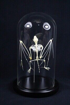 Real Bat Skeleton Flying Pose Taxidermy Specimen Mounted In Glass Dome • 50£
