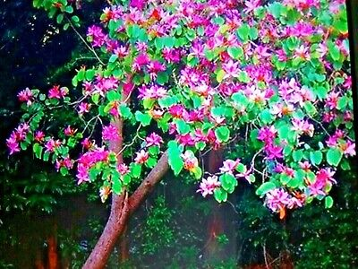 AU6 • Buy Orchid Tree Seeds X 10 Fresh Easy Grow Drought Tolerant Small Tree W.A