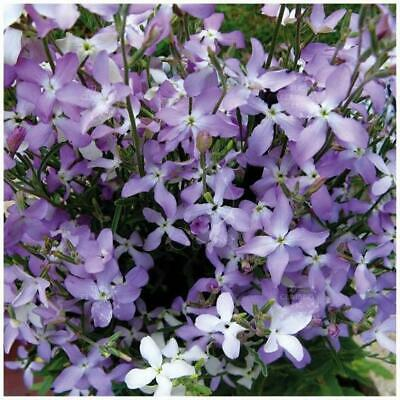 AU5.45 • Buy MATTHIOLA Evening Scented Lilac Stock Seeds. Orchid-like Mauve Flowers
