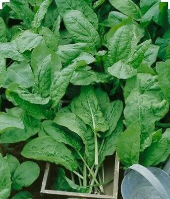 £1.42 • Buy 200 Large Leaf Sorrel Herb Seeds - Non GMO-Organic - Open Pollinated.