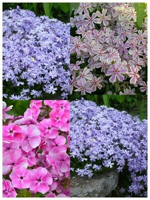 6 X 9cm Pots Of Creeping Phlox Subulata Hardy Evergreen LIVE PLANTS 3 TYPES • 26.96£