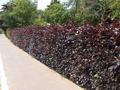Purple Copper Beech Hedge Plants Semi-evergreen Bare Root Hedging • 24.99£