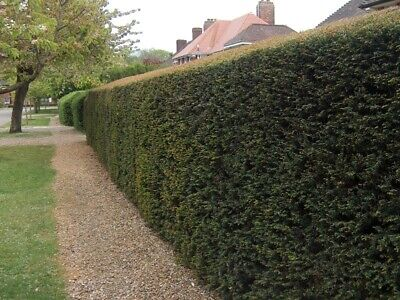 Native English Yew Taxus Grade A Hedge Hedging Plants Bare Root 3 Sizes! • 36.99£