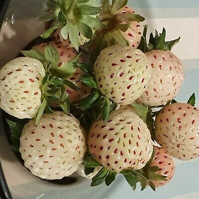 White Strawberry Pineberry Plants In 7cm Pots Will Fruit Next Year • 2£