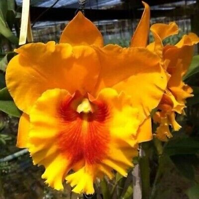 AU27.50 • Buy Orchid Cattleya NP Gold