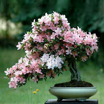 10 Cherry Blossom Bonsai Seeds, Beautiful Pink Sakura Fower Tree - UK Seller • 2.98£