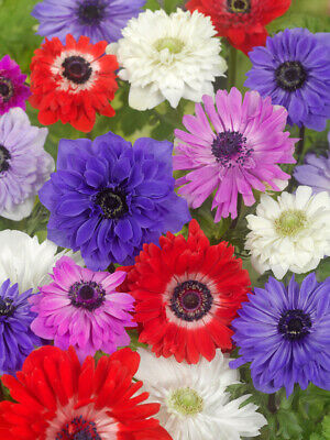 40 Anemone ST. BRIGID Mixed Colours Bulbs Spring/Summer Flowers Corms Perennial • 4.89£