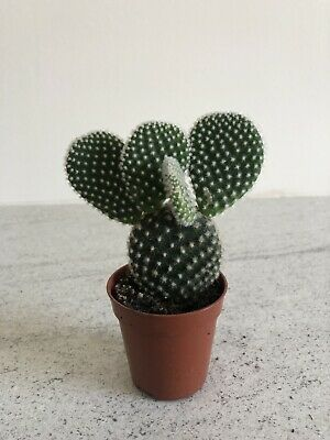 Collectors Snow White Opuntia Bunny Ears 5.5CM POT & Free Care Guide Cacti Plant • 2.99£
