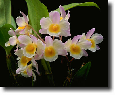 AU35 • Buy Orchid Dendrobium Farmerii Species