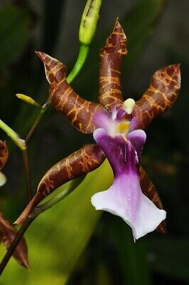 AU40 • Buy ORCHID  Miltonia Clowesii   Near Flowering Size