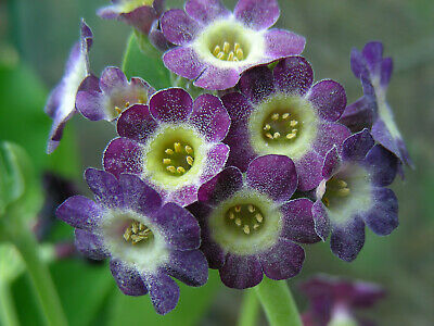 £4.95 • Buy Border Auricula : 40 Seeds (2020) : Purple, Pink, Red With Dots