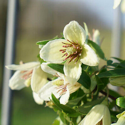 Winter-flowering Clematis Christmas Surprise 9cm Pot Evergreen Foliage • 29.90£