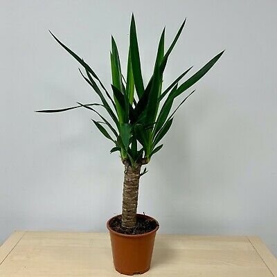 Yucca  | House Plant • 11£