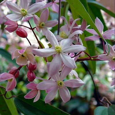Clematis Armandii Apple Blossom - Scented Evergreen Spring Flowering 2-3 Litre • 39.90£