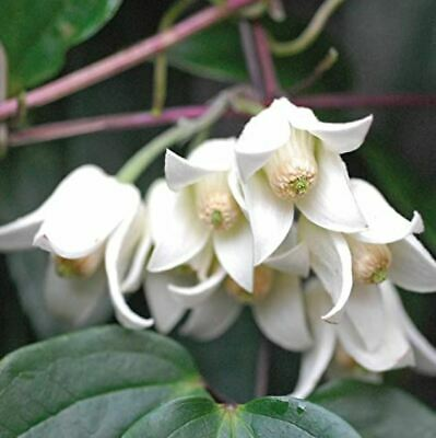 Clematis Winter Beauty  Blooming Climber Evergreen Hardy Flowers From December • 39.90£