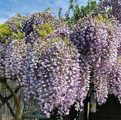 Wisteria Sinensis Prolific Blue Abundant Flowering Large Specimen Plant 6ft+ • 69.90£