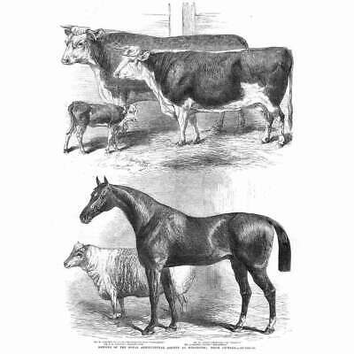 £12.95 • Buy WORCESTER Prize Animals At Royal Agricultural Society Show - Antique Print 1863