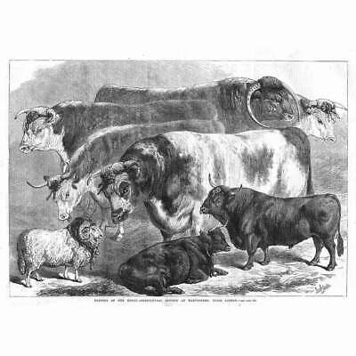 £12.95 • Buy MANCHESTER Prize Cattle At Royal Agricultural Society Show - Antique Print 1869