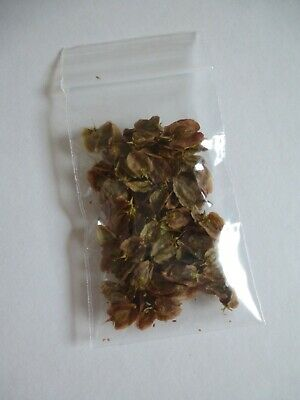 Rhubarb Seeds ~ Hand Collected From My Garden • 1.20£