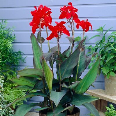 GIANT Canna Lily - BLACK KNIGHT - Perennial Garden Plant (Bulb/Tuber) • 6.95£