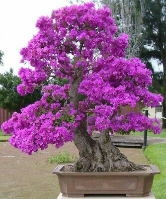 £2.99 • Buy 20 Chinese Redbud Seeds (Cercis Chinensis) - Bonsai Tree Seeds