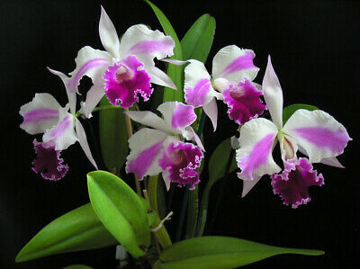 AU27.50 • Buy Orchid Cattleya Excelsior The Globe