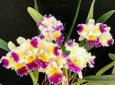 AU27.50 • Buy Orchid Cattleya Color Guard 'Magic Color ** NEW**