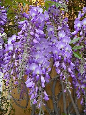 Wisteria Sinensis 3L (Grafted Chinese Wisteria) Climber 90cm Including Pot • 27£