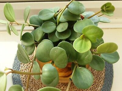 £4 • Buy Peperomia Hope   Trailing Succulent House Plant Cutting Taken  From Growing Tip.
