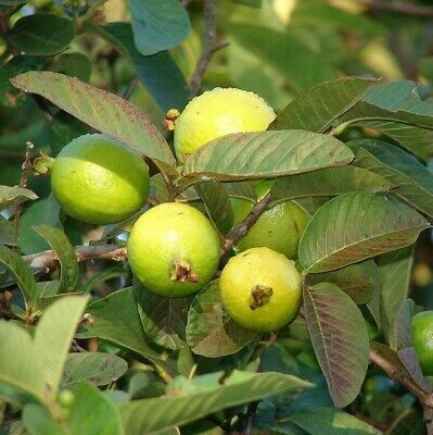 £3 • Buy Red Colombian Guava Fruit Tree Seeds Healthy 15pc
