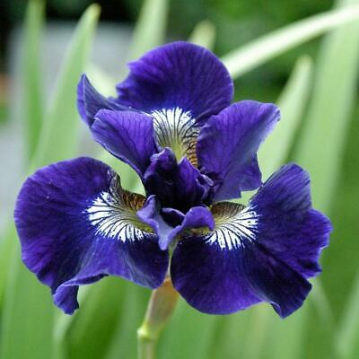 £4.99 • Buy Iris Shirley Pope Sibirica Hardy Perennial Purple Blue Flowers Live Rooted Plant