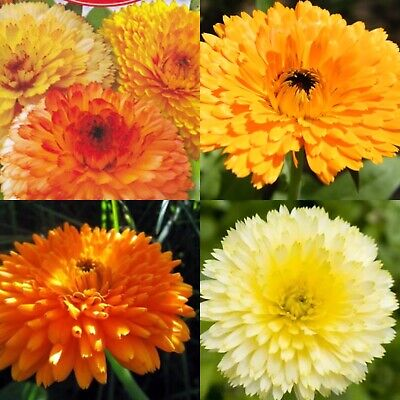 £1.70 • Buy Calendula Pacific Beauty Mix Double Seeds. 1 Pack - 30 Seeds