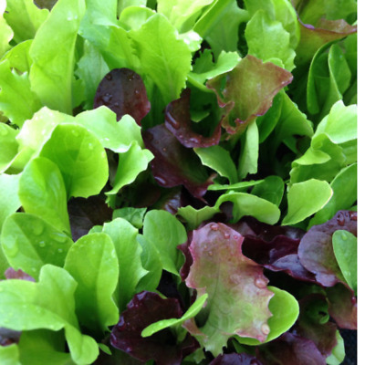 £1.89 • Buy Lettuce Seeds Mix Baby Leaf Mixed    700 Seeds