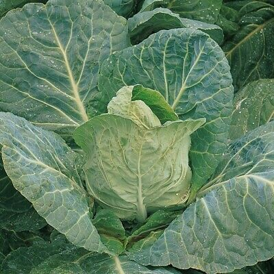£1.79 • Buy Cabbage Seeds 'Early Durham' Vegetable   600 Seeds