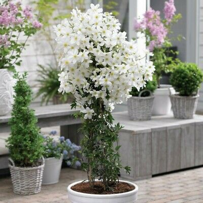 £25.99 • Buy Clematis Cartmanii Avalanche - Early Flowering Evergreen Clematis - 2-3L Pot